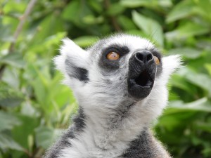 Lemure Zoom Torino