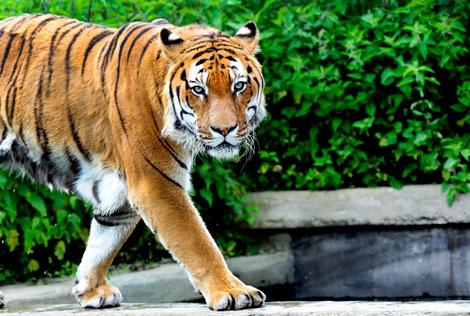 Tigre Zoom Torino