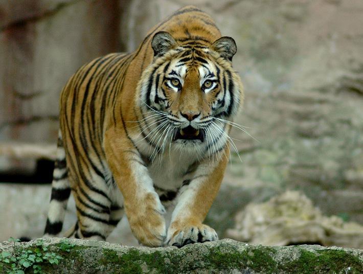 La Tigre del Bioparco di Roma