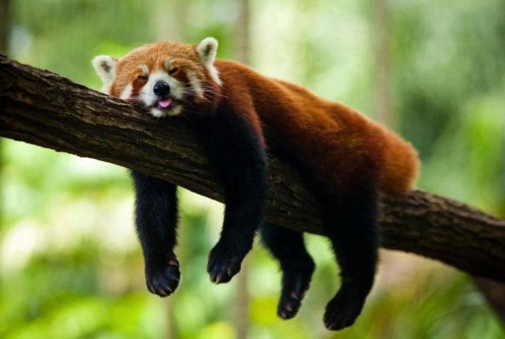 Panda Rosso che dorme su un ramo