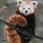 Panda rosso codina arrotolata