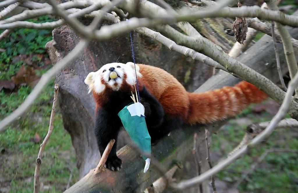 Panda Rosso scarta il regalo di Natale
