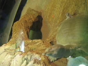 Tartaruga dal collo lungo