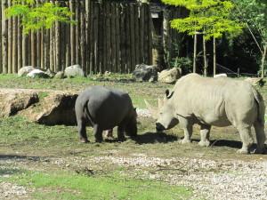 A Natura Viva convivono Ippopotamo e Rinoceronte bianco