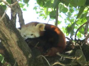 il panda minore detto panda rosso