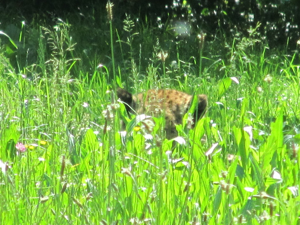 Ghepardo nascosto nell'erba